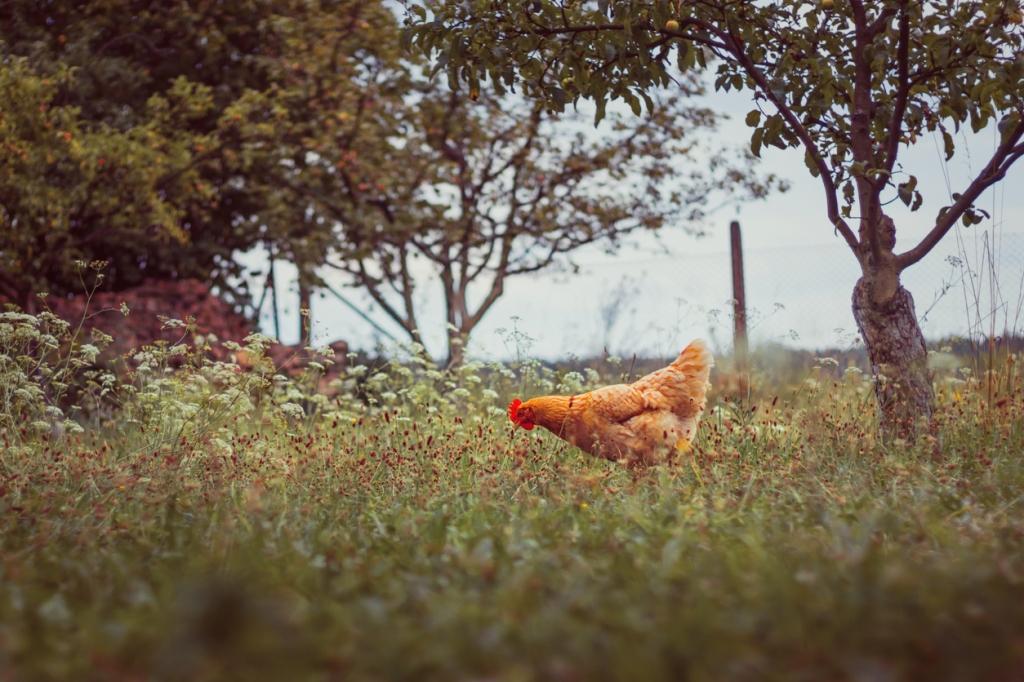 Hen in a field